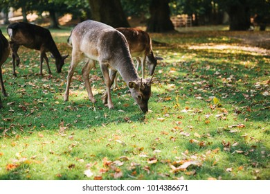 Animals are looking for food. A group of young deer walks through a warm green sunny meadow in a forest next to the trees
