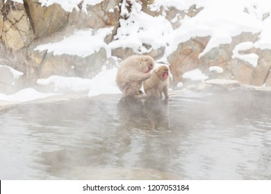 animals, nature and wildlife concept - japanese macaques or snow monkeys in hot spring of jigokudani park