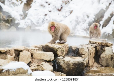 animals, nature and wildlife concept - japanese macaques or snow monkeys at hot spring of jigokudani park