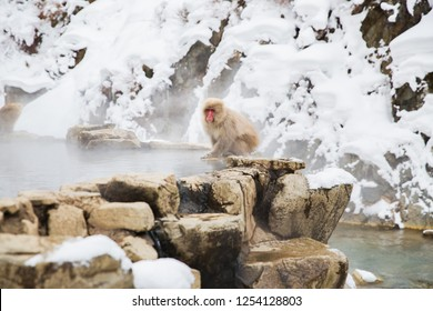 animals, nature and wildlife concept - japanese macaque or snow monkey at hot spring of jigokudani park