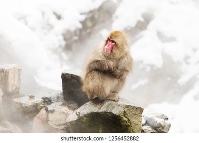 animals, nature and wildlife concept - japanese macaques or snow monkeys at hot spring edge of jigokudani park