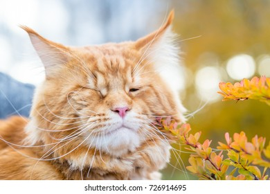 Image of: Pictures Animals Nice And Cute Maine Coon Cat Is Walking In The Park Horizontal View Poodesigns Animals Nice Cute Maine Coon Cat Stock Photo edit Now 726914665