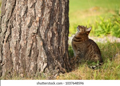 animals outdoor - beautiful big ocicat sitting on a green grass looking at a huge tree trunk