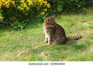 animals outdoors - beautiful brown and black stripped and spotted ocicat cat sitting on a green grass in a garden with yellow flowers on the background on a sunny day in Europe