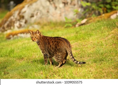 animals outdoors - beautiful brown and black stripped and spotted ocicat cat standing on a green grass in a garden with big rock in the background on a sunny day in Europe