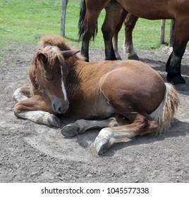 animals outdoors - horse family - beautiful brown colt lies down on a sand, with two big horses in the background, on green grass with a fence, in village in summer in Poland, Europe