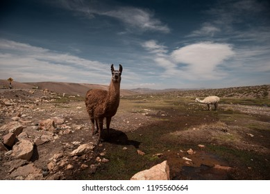 Animals in Peru are awesome especially the llamas. Look at that smile of the brown llama.