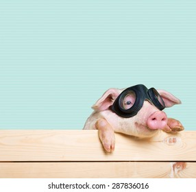Animals, pig, piglet with flying goggles