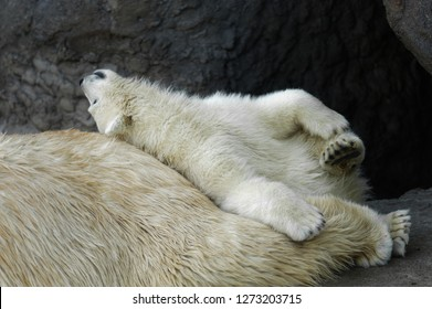 Animals: playful polar bear cub having a rest at his mom back