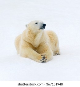 Animals: polar bear having a rest on white snow