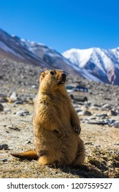 Animals scene of Marmots are large squirrels in the genus Marmota with Brown hair in the field near pangong lake at Leh Ladakh , India - Close up