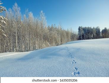 Animals track in big snow. Wild animals footprints on snow, Beautiful winter landscape