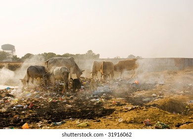 Animals in trash heap in India.