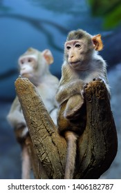 Animals: very thoughtful young monkey sitting on a tree trunk, another one at background, close-up shot