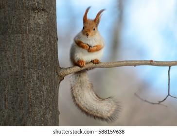 Animals in wildlife. Amazing photo of cute american red squirrel with big fluffy tail sitting high on a tree branch. Animal at sunny winter day and blue sky background. Close up squirrel perspective.