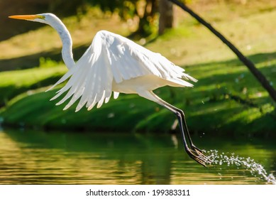 Animals in Wildlife - White Egrets