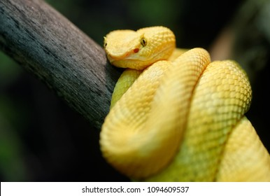 Animals: yellow eyelash viper (Bothriechis schlegelii) on a tree branch, closeup shot