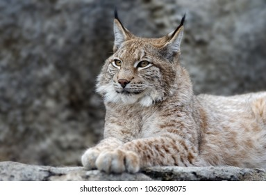 Animals: young lynx posing