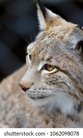 Animals: young lynx posing, close-up shot