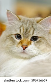 Animals: young Ragamuffin cat close-up portrait