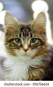 Animals: young tabby Maine Coon cat looking straight in camera, close-up portrait