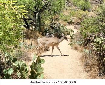 Animal/Wildlife - A White Tailed Deer walking across a hiking trail at Sabino Canyon in Tucson, Arizona.