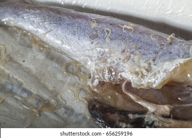 Anisakis worm, a parasite of marine mammals, present in raw  blue whiting fish. Can be dangerous for humans that eat raw fish like sushi.