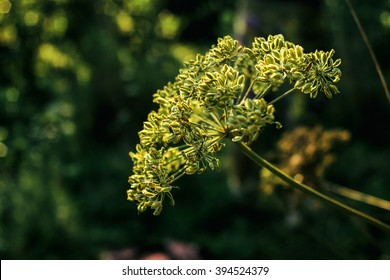 anise beautiful flower plant in grassland in sunshine, summer nature meadow