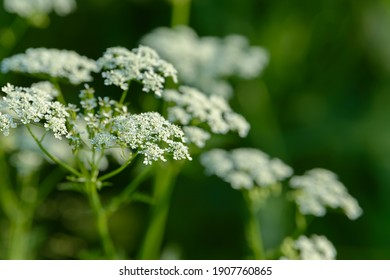 Anise flower field. Food and drinks ingredient. Fresh medicinal plant. Seasonal background. Blooming anise field background on summer sunny day.