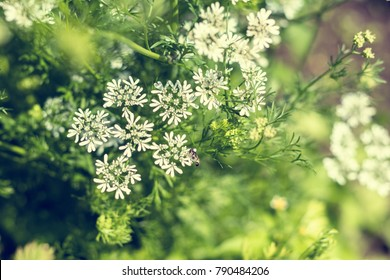 Anise flowers. Beautiful summer scene with many little flowers. Toned photo.