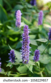 Anise hyssop or agastache foeniculum black adder purple flowers with green