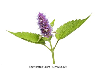 Anise hyssop flower and foliage