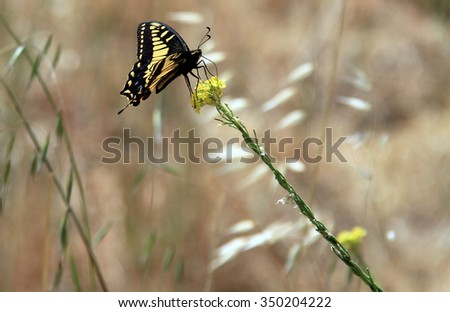 Anise Swallowtail Butterfly Quarry Lakes Regional Stock