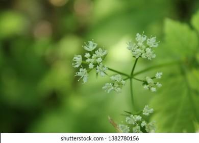 Aniseroot flower specimen sample from Ontario Canada