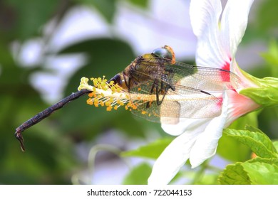 Anisoptera on white flower