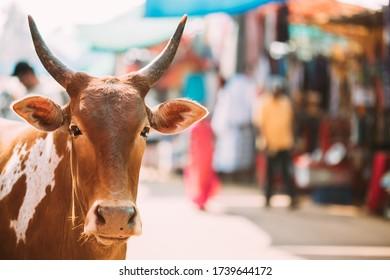 Anjuna, Goa, India. Cow Close Up Portrait At Anjuna Market Street.