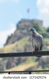 Ankara, Turkey - A pigeon with Ankara Castle background