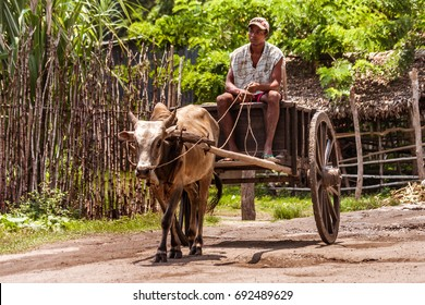 Ankify, north of Madagascar, November 11, 2016: A Malagasy farmer carrying cocoa pods in his zebu cart