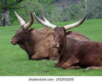 Ankole cattle herd, Bos taurus africanus, resting in a field