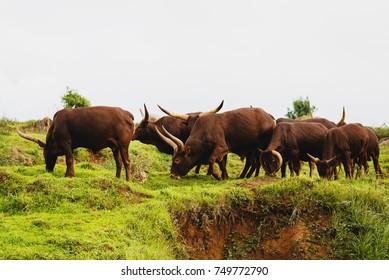 Ankole-Watusi grazing in the green meadow