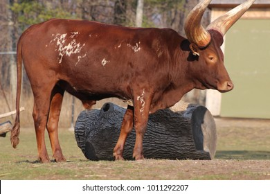 The Ankole-Watusi is a modern American breed of domestic cattle. It derives from the Ankole group of Sanga cattle breeds of central Africa. It is characterized by very large horns.