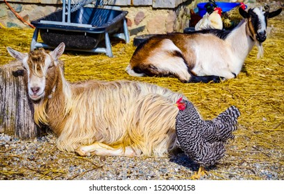Ann Arbor, Michigan / USA - February 17 2017: A mixed group of barnyard animals enjoying some sunshine out in the barn yard area.