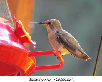 Anna Hummingbird (female) birdwatching