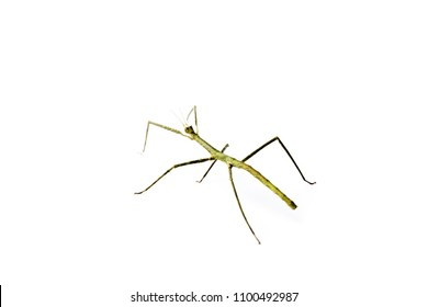 Annam Stick Insect. Annam Walking Stick - Medauroidea extradentata isolated on white. Walking or moving stick insect.