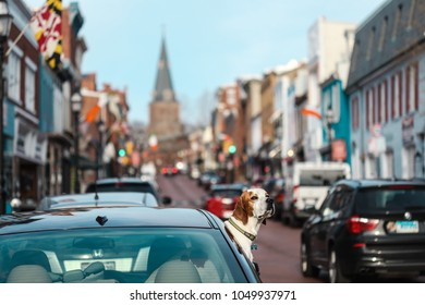 Annapolis, MD - March 10, 2018: A dog hangs his head out of the window of a parked car as he waits for his owner to return to the vehicle.