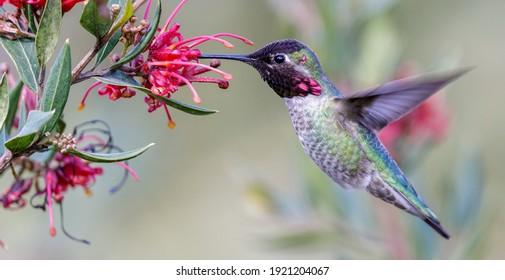 Anna's Hummingbird adult male hovering and feeding. Santa Cruz, California, USA.
