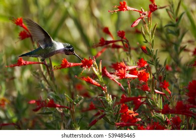 Anna's Hummingbird feeding in a field of red California Fuchsia.