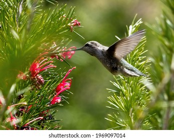 Anna's hummingbird feeding on the fly from red flowers
