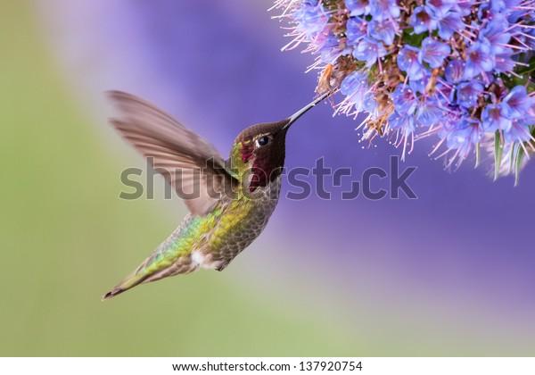 Anna's Hummingbird im Flug mit violetter Blume