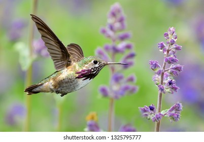Annas Hummingbird hovering next to pretty purple lavender flowers